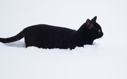 Black cat walking in the snow Royalty Free Stock Photography