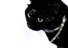 Black cat walks on the snow. On the harness Stock Image