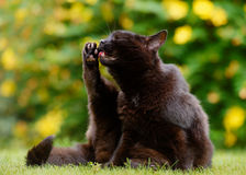 Black Cat Washing Stock Photo