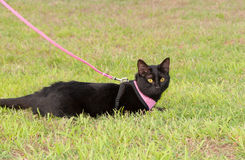 Black cat wearing a harness Royalty Free Stock Photography
