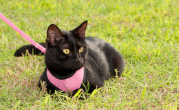 Black cat wearing pink harness Royalty Free Stock Photo