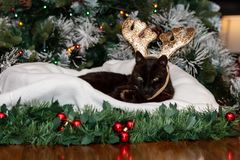 A black cat wearing reindeer antlers. A black cat wearing reindeer antlers and sitting on a white cushion, with Christmas decorations in background royalty free stock image