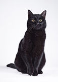 Black cat on a white. Serious black cat sitting on a white background royalty free stock images