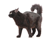 Black cat on the white. Black cat with long hair on the white stock image