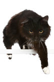 Black cat on a white background. Black cat in front of a white background royalty free stock photos