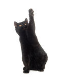 Black cat on white background Stock Photography