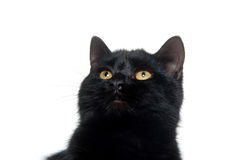 Black cat on white background. Black cat sitting and playing on white background Stock Photography