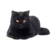 Black cat on white background Royalty Free Stock Images