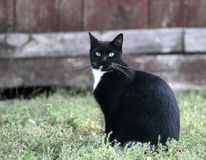 Black cat. With white chest on a farm in the grass royalty free stock image