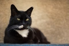 Black cat with white chest royalty free stock photos