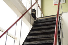 Black cat with white collar protects the steep metal stairs Stock Image