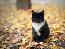 Black cat with a white collar sits on yellow leaves Stock Photo