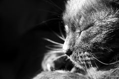 Black Cat. Black and white image of a black cat Royalty Free Stock Photography