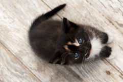 Black calico kitten on white-washed wood Stock Images