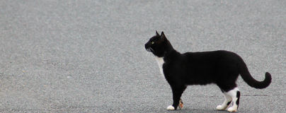 Black Cat with white legs- one paw turned up. Black Cat with white legs and chest standing in street with one paw turned up Stock Photos