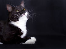 Black cat with white markings Royalty Free Stock Images