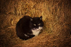 Black cat with white neck sitting on hay. Black cat with beautiful white neck is sitting on hay and looking at the camera Stock Images