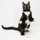 Black cat with white shirt front and yellow eyes standing on hin Stock Photos