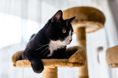A black cat with a black and white snout, lies on a brown, cat scratcher inside the home. A black cat with a black and white snout, lies on a brown, cat stock photo