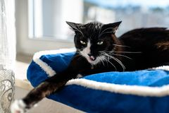 A black cat with a black and white snout, lying on a blue bed on a windowsill, a blue sky in the background. A black cat with a black and white snout, lying on royalty free stock photography