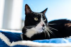 A black cat with a black and white snout, lying on a blue bed on a windowsill, a blue sky in the background. A black cat with a black and white snout, lying on royalty free stock images