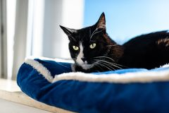A black cat with a black and white snout, lying on a blue bed on a windowsill, a blue sky in the background. A black cat with a black and white snout, lying on stock photo