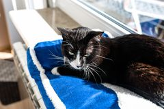 A black cat with a black and white snout, lying on a blue bed on a windowsill, a blue sky in the background. A black cat with a black and white snout, lying on royalty free stock photos