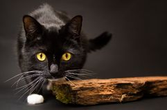 Black cat with a white sock. Black beautiful cat with a white sock with interesting watching, it is hiding behinde board Royalty Free Stock Photo