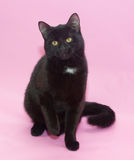 Black cat with white spot on the chest sitting Royalty Free Stock Images