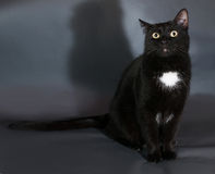Black cat with white spot sits on gray. Background Royalty Free Stock Images