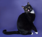 Black cat with white spots sitting and licked on blue Royalty Free Stock Photo