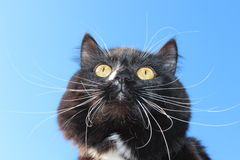Black cat with white tie. Image of black cat with white tie on blue sky background Royalty Free Stock Photography