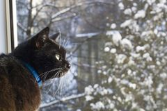 Black cat with white whiskers looking on window stock photos