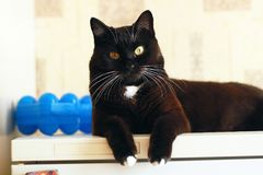 Black cat with white whiskers. Portrait of black cat with white whiskers and eyebrows Royalty Free Stock Images
