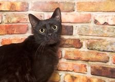Black cat wide eyed looking directly at viewer in front of brick wall. Portrait of a wide eyed black cat standing in front of a brick wall looking directly at Royalty Free Stock Image