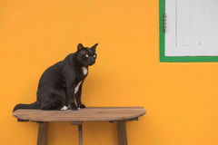 Black cat on a wooden table and Yellow background . Royalty Free Stock Images