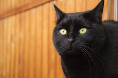 The black cat. On the wooden wall background Royalty Free Stock Photos