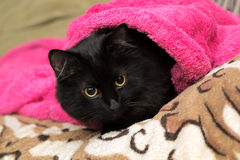 Black cat wrapped under terry towel Royalty Free Stock Photo