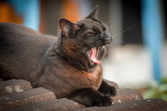 Black cat yawning Stock Image