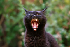 Black Cat Yawning. An elderly black cat with just one canine tooth yawns and looks rather fierce against a defocused garden setting stock photography