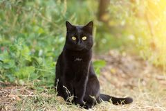 Black cat with yellow eyes and attentive look sits outdoor in nature in sunlight. Ð¡at is looking in the camera royalty free stock photography
