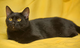 Black cat with yellow eyes Stock Photography