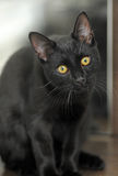 Black cat with yellow eyes Royalty Free Stock Photos
