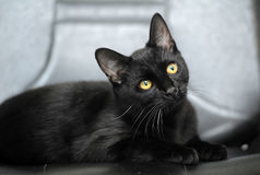 Black cat with yellow eyes Royalty Free Stock Photography