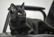 Black cat with yellow eyes Stock Image