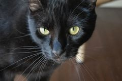 Black cat with yellow eyes. royalty free stock photos