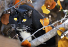 Black Cat Yellow Eyes & Fall Leaves. A black cat with vivid yellow eyes in branches of tree with leaves turning autumn colors of rust, gold and yellow royalty free stock photo