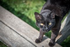 Black cat with Yellow eyes. Black farm cat with yellow eyes Stock Images