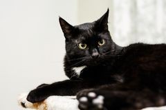 A black cat with yellow eyes lies in his place at house. Stock Photography