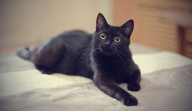 Black cat with yellow eyes lies on a sofa. stock photography